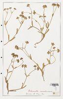 https://bibliotheque-virtuelle.bu.uca.fr/files/fichiers_bcu/Valerianaceae_Valerianella_carinata_CLF139259.jpg