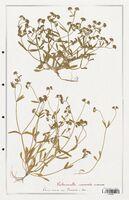https://bibliotheque-virtuelle.bu.uca.fr/files/fichiers_bcu/Valerianaceae_Valerianella_carinata_CLF139260.jpg