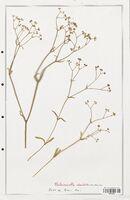 https://bibliotheque-virtuelle.bu.uca.fr/files/fichiers_bcu/Valerianaceae_Valerianella_dentata_CLF139263.jpg