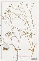 https://bibliotheque-virtuelle.bu.uca.fr/files/fichiers_bcu/Valerianaceae_Valerianella_dentata_CLF139264.jpg