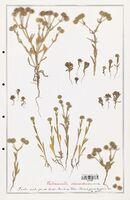 https://bibliotheque-virtuelle.bu.uca.fr/files/fichiers_bcu/Valerianaceae_Valerianella_discoidea_CLF139266.jpg