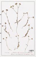 https://bibliotheque-virtuelle.bu.uca.fr/files/fichiers_bcu/Valerianaceae_Valerianella_locusta_CLF139270.jpg