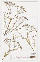 https://bibliotheque-virtuelle.bu.uca.fr/files/fichiers_bcu/Valerianaceae_Valerianella_rimosa_CLF139278.jpg