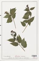 https://bibliotheque-virtuelle.bu.uca.fr/files/fichiers_bcu/Verbenaceae_Lantana_camara_CLF139281.jpg