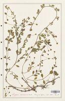 https://bibliotheque-virtuelle.bu.uca.fr/files/fichiers_bcu/Verbenaceae_Lippia_canescens_CLF139282.jpg