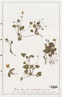 https://bibliotheque-virtuelle.bu.uca.fr/files/fichiers_bcu/Verbenaceae_Viola_alba_CLF139289.jpg