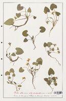 https://bibliotheque-virtuelle.bu.uca.fr/files/fichiers_bcu/Verbenaceae_Viola_alba_CLF139290.jpg