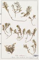 https://bibliotheque-virtuelle.bu.uca.fr/files/fichiers_bcu/Verbenaceae_Viola_arborescens_CLF139292.jpg