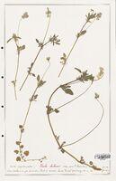 https://bibliotheque-virtuelle.bu.uca.fr/files/fichiers_bcu/Verbenaceae_Viola_bubanii_CLF139295.jpg