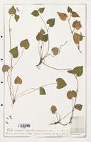https://bibliotheque-virtuelle.bu.uca.fr/files/fichiers_bcu/Verbenaceae_Viola_canina_CLF139304.jpg