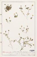 https://bibliotheque-virtuelle.bu.uca.fr/files/fichiers_bcu/Verbenaceae_Viola_crassiuscula_CLF139312.jpg