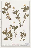 https://bibliotheque-virtuelle.bu.uca.fr/files/fichiers_bcu/Verbenaceae_Viola_jordanii_CLF139317.jpg