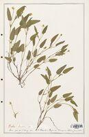 https://bibliotheque-virtuelle.bu.uca.fr/files/fichiers_bcu/Verbenaceae_Viola_lactea_CLF139318.jpg