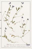 https://bibliotheque-virtuelle.bu.uca.fr/files/fichiers_bcu/Verbenaceae_Viola_lutea_CLF139319.jpg