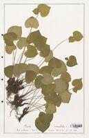 https://bibliotheque-virtuelle.bu.uca.fr/files/fichiers_bcu/Verbenaceae_Viola_mirabilis_CLF139320.jpg