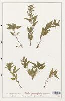 https://bibliotheque-virtuelle.bu.uca.fr/files/fichiers_bcu/Verbenaceae_Viola_persicifolia_CLF139326.jpg