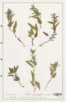 https://bibliotheque-virtuelle.bu.uca.fr/files/fichiers_bcu/Verbenaceae_Viola_persicifolia_CLF139327.jpg