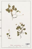 https://bibliotheque-virtuelle.bu.uca.fr/files/fichiers_bcu/Verbenaceae_Viola_reichenbachiana_CLF139329.jpg