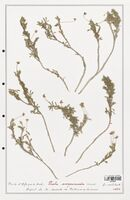 https://bibliotheque-virtuelle.bu.uca.fr/files/fichiers_bcu/Verbenaceae_Viola_scorpiuroides_CLF139333.jpg