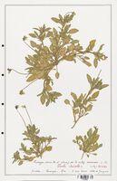 https://bibliotheque-virtuelle.bu.uca.fr/files/fichiers_bcu/Verbenaceae_Viola_tricolor_CLF139336.jpg