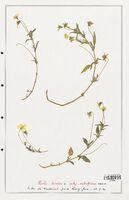 https://bibliotheque-virtuelle.bu.uca.fr/files/fichiers_bcu/Verbenaceae_Viola_tricolor_CLF139339.jpg