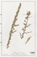 https://bibliotheque-virtuelle.bu.uca.fr/files/fichiers_bcu/Nitrariaceae_Nitraria_retusa_CLF139354.jpg