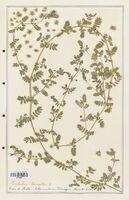 https://bibliotheque-virtuelle.bu.uca.fr/files/fichiers_bcu/Zygophyllaceae_Tribulus_terrestris_CLF139356.jpg