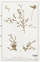 https://bibliotheque-virtuelle.bu.uca.fr/files/fichiers_bcu/Zygophyllaceae_Fagonia_glutinosa_CLF139362.jpg