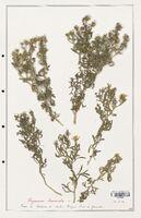 https://bibliotheque-virtuelle.bu.uca.fr/files/fichiers_bcu/Zygophyllaceae_Peganum_harmala_CLF139365.jpg