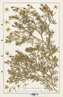 https://bibliotheque-virtuelle.bu.uca.fr/files/fichiers_bcu/Zygophyllaceae_Peganum_harmala_CLF139366.jpg