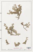 https://bibliotheque-virtuelle.bu.uca.fr/files/fichiers_bcu/Zygophyllaceae_Zigophyllum_album_CLF139367.jpg