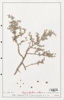 https://bibliotheque-virtuelle.bu.uca.fr/files/fichiers_bcu/Zygophyllaceae_Zigophyllum_album_CLF139369.jpg