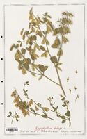 https://bibliotheque-virtuelle.bu.uca.fr/files/fichiers_bcu/Zygophyllaceae_Zigophyllum_fabago_CLF139371.jpg