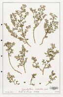 https://bibliotheque-virtuelle.bu.uca.fr/files/fichiers_bcu/Zygophyllaceae_Zigophyllum_waterlotii_CLF139374.jpg